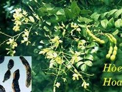 Hoa hòe - Vị thuốc quý trị tăng huyết áp