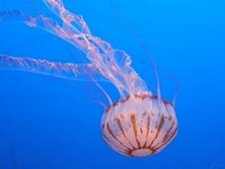 Ăn sứa để phòng chữa bệnh phổi