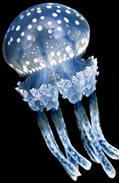 Phát hiện ung thư sớm hờ vào tế bào ủa sứa phát sáng - nguồn Dailymail